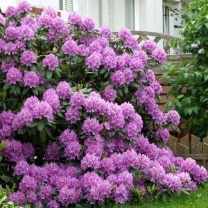 Alppiruusu Catawbiense Grandiflorum 30-40 Cm