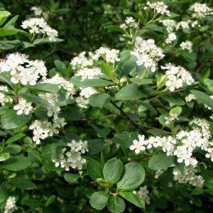 Aronia X Prunifolia Koristearonia Aita 1 Kpl/Astia