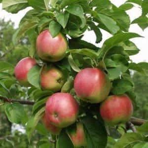 Hillittykasvuinen Omenapuu 1. Lk