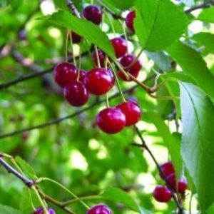 Kirsikka 'Sikkolan'