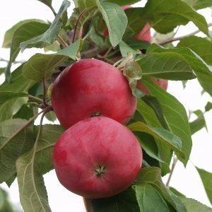 Omenapuu 1.Lk Kotimainen