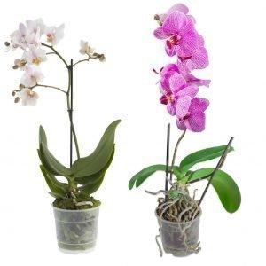 Orkidea 2-Vanainen