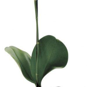 Orkidea Perhoskämmekkä