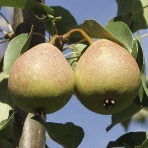 Päärynä 'Aunen Päärynä'