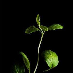 Plantui Meirami