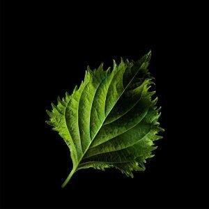 Plantui Shisolehti Vihreä Veripeippi