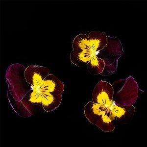 Plantui Tarhasarviorvokki Sorbet Ruby & Gold