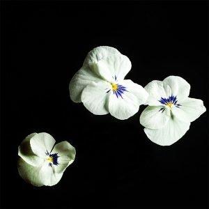Plantui Tarhasarviorvokki Sorbet White