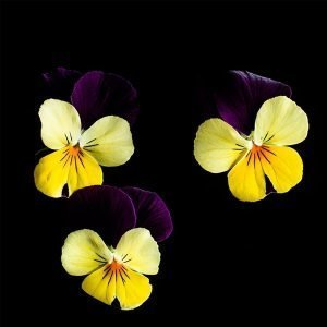 Plantui Tarhasarviorvokki Sorbet Yellow Jump