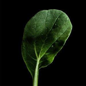 Plantui Tatsoi Tatsoikaali