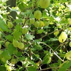 Ribes Uva-Crispa Hinnonmäen Keltainen Karviainen
