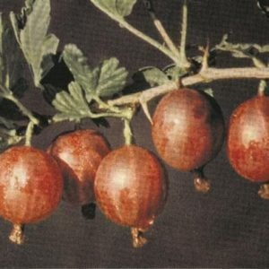 Ribes Uva-Crispa Lepaan Punainen Karviainen