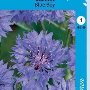 Siemen Centaurea Cyanus Blue Boy Ruiskaunokki