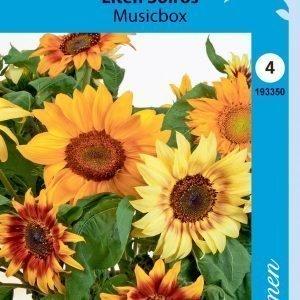 Siemen Helianthus Annuus Music Box Kääpiöauringonkukka