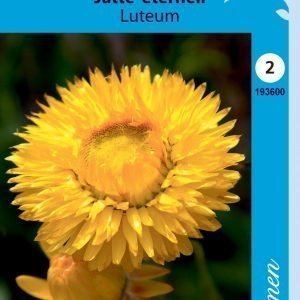 """Siemen Jättiolkikukka """"luteum"""" Kelt."""