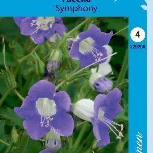 Siemen Phacelia Grandiflora Symphony Loistohunajakukka