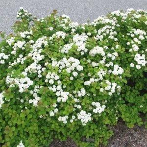 Spiraea Betulifolia Koivuangervo