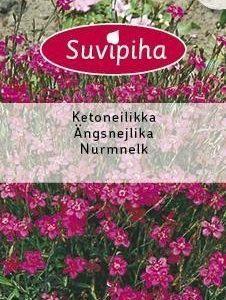 Suvipiha Dianthus
